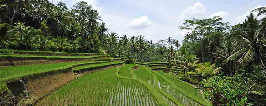 Rice fields Canggu Bali